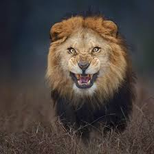 vie-sauvage-lion.jpg